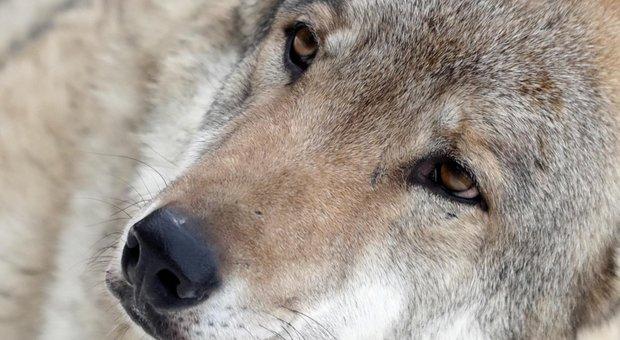 Il lupo abruzzese a rischio di estinzione