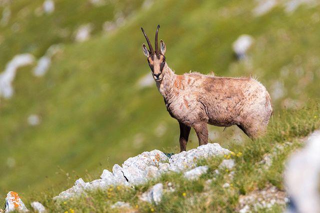 Camoscio d'Abruzzo: perché lo chiamano il più bello del mondo
